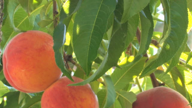 peaches on tree - peach stock videos & royalty-free footage