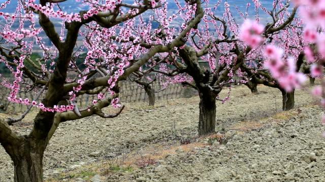 Duraznos árbol de flor