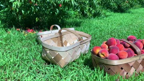 persikor - korg bildbanksvideor och videomaterial från bakom kulisserna