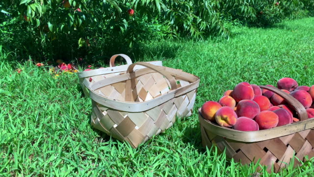 peaches - basket stock videos & royalty-free footage