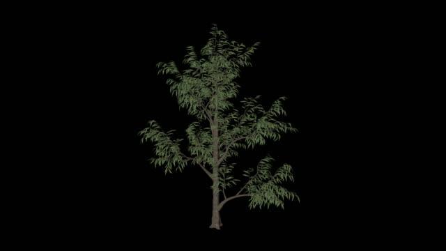 ピーチツリー - モモ点の映像素材/bロール
