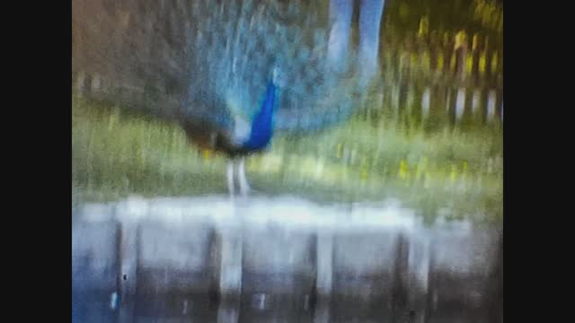 peacock at the zoo, 4k digitized footage - tail stock videos & royalty-free footage