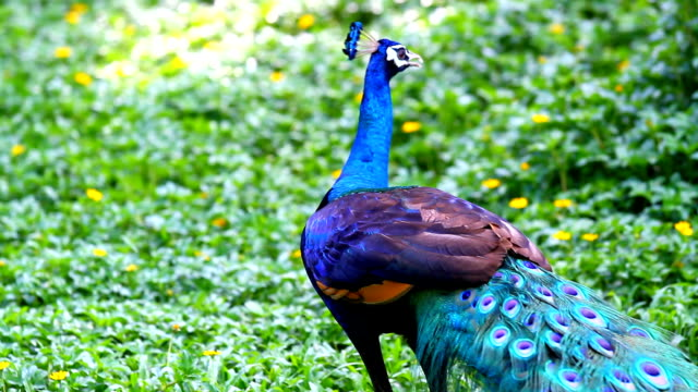 peacock beauty in nature - peacock stock videos and b-roll footage