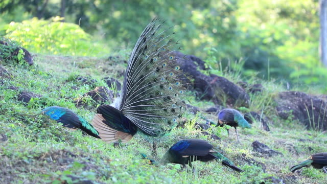 Peacock breeding on the forest