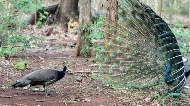 peacock breeding on the forest - human copulation stock videos and b-roll footage