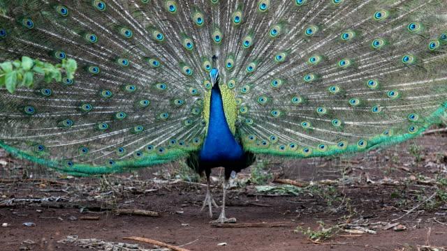 stockvideo's en b-roll-footage met peacock fokken op het bos - jong dier