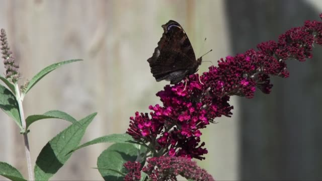 Peacock butterfly feeding on Buddleia in an English domestic garden