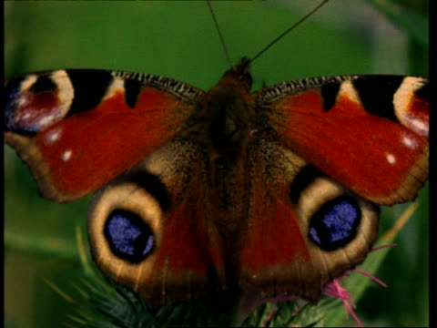 cu peacock butterfly on thistle, uk - schwingen stock-videos und b-roll-filmmaterial