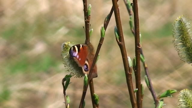 Peacock Butterfly on Willow Branches