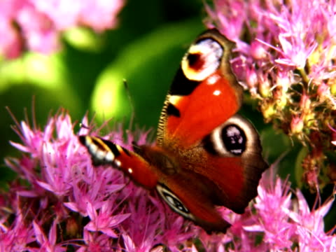peacock butterfly - wirbelloses tier stock-videos und b-roll-filmmaterial