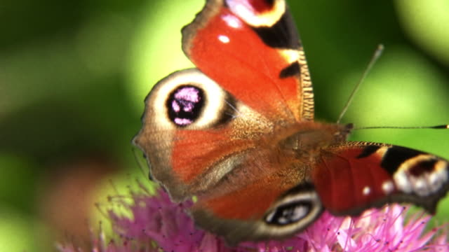 vídeos de stock e filmes b-roll de borboleta-pavão - um animal