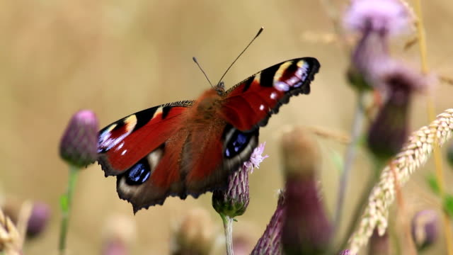 peacock butterfly - temperate flower stock videos and b-roll footage