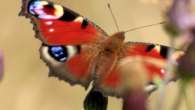 peacock butterfly - tierflügel stock-videos und b-roll-filmmaterial