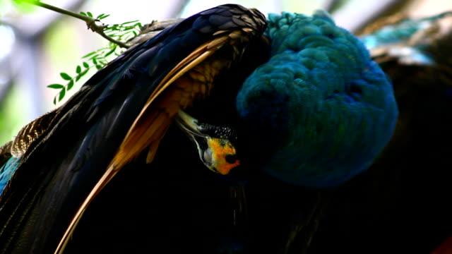 ピーコックフェザークリーニング - 動物の色点の映像素材/bロール
