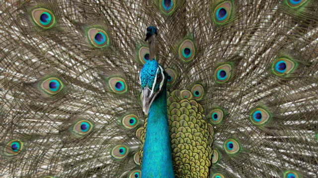 peacock closeup - animal body part stock videos & royalty-free footage