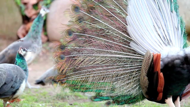peacock display - mating stock videos and b-roll footage