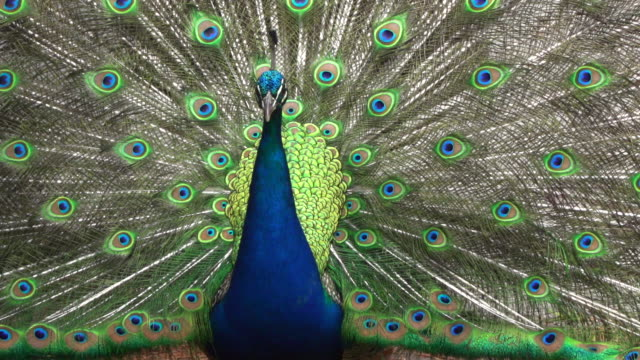 peacock displaying his bright plumage - peacock stock videos and b-roll footage