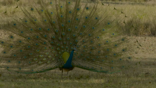 peacock displaying, india. - showing stock videos & royalty-free footage