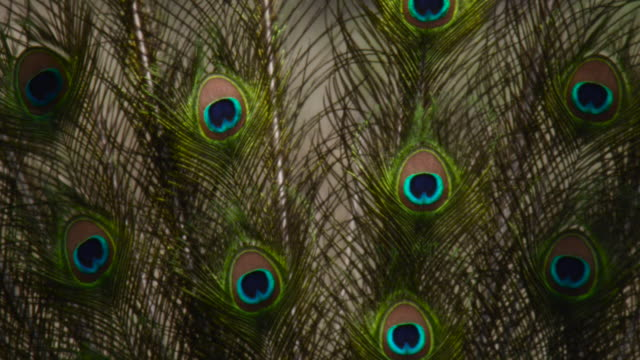 peacock displaying tail feathers, india. - showing stock videos & royalty-free footage