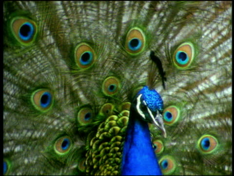 peacock displays his vividly coloured tail feathers and chases female, - peacock stock videos and b-roll footage