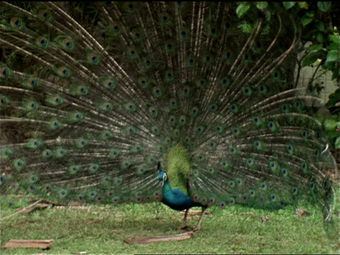a peacock displays its beautiful tail feathers. - pacific islands stock videos & royalty-free footage