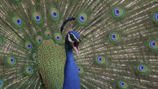 Peacock (Pavo cristatus) displays tail feathers and calls on grassland, Bandhavgarh, India