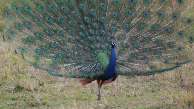 peacock (pavo cristatus) displays tail feathers on grassland, bandhavgarh, india - peacock stock videos and b-roll footage