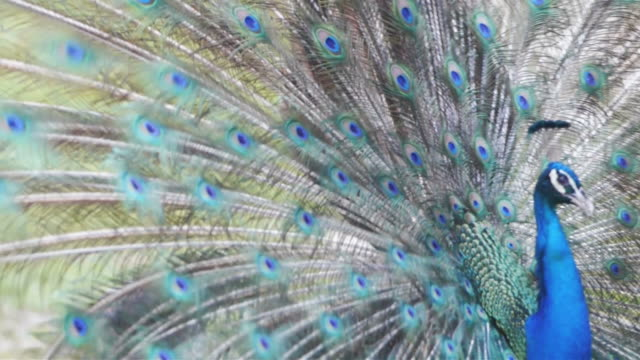 peacock feathers beautiful bird. - animal markings stock videos & royalty-free footage