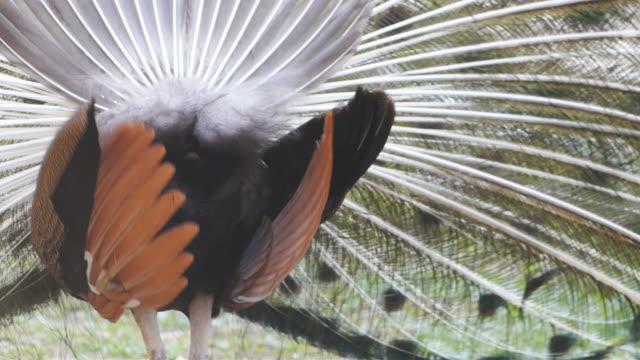 美しいクジャクの羽の鳥。 - 動物の色点の映像素材/bロール
