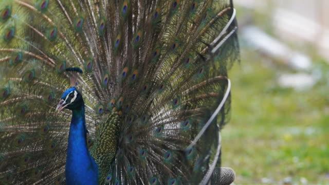 vídeos de stock, filmes e b-roll de penas de pavão bonito pássaro. - boca animal
