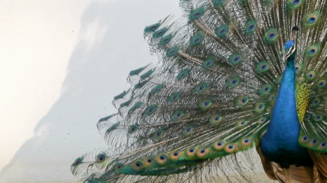 peacock feathers beautiful bird. - peacock stock videos and b-roll footage