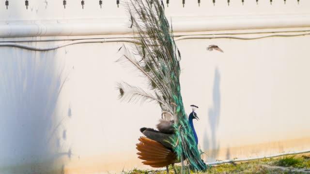 vídeos de stock, filmes e b-roll de penas de pavão bonito pássaro. - pelagem do animal