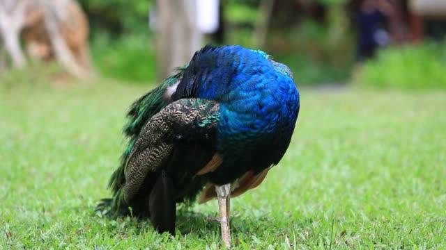 vidéos et rushes de peacock in the grass - se lisser les plumes