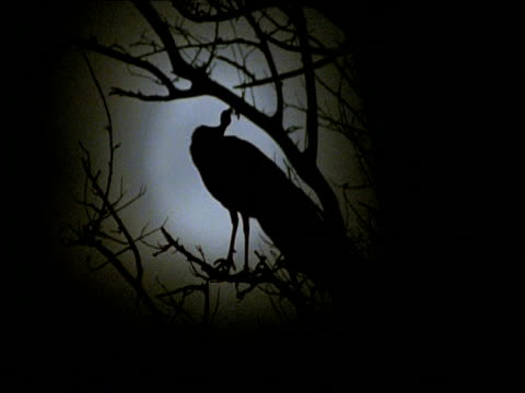 vidéos et rushes de ms peacock in tree, silhouetted against full moon, pull focus, gujarat, india - se lisser les plumes