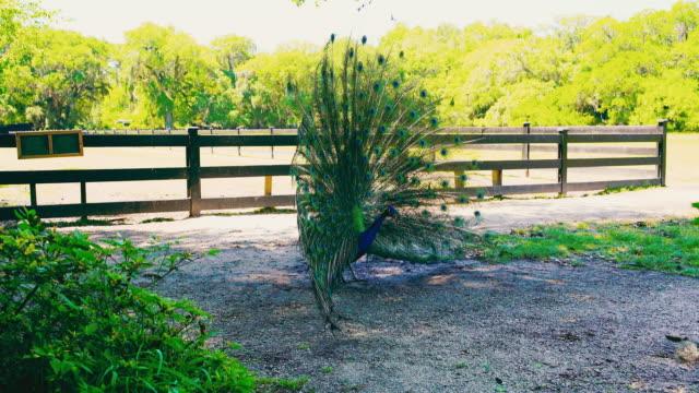 peacock lek on the path - lek stock videos & royalty-free footage