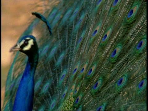 Peacock (Pavo cristatus) male display, Bandhavgarh National Park, India