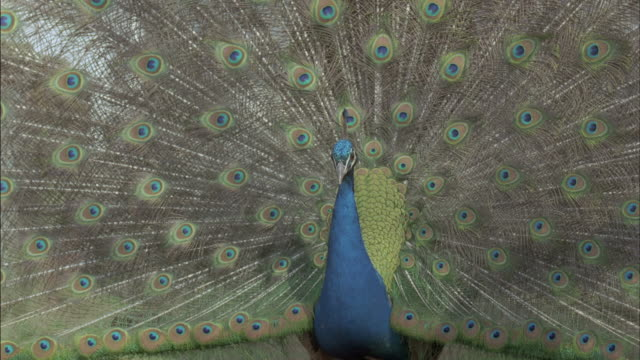 peacock (pavo cristatus) male displays, turns to right, courtship, uk - showing off stock videos & royalty-free footage