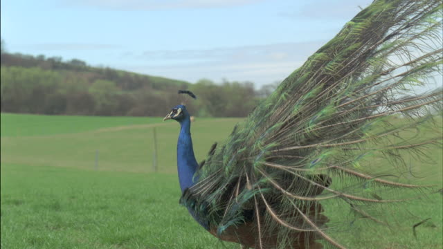 peacock (pavo cristatus) male displays, walking in field, uk - peacock stock videos and b-roll footage