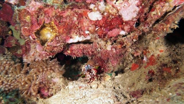 peacock mantis shrimp (odontodactylus scyllarus) on coral reef - undersea stock videos & royalty-free footage