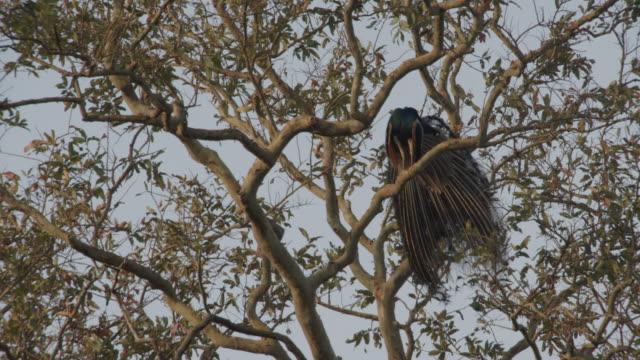 vídeos de stock, filmes e b-roll de peacock perched in the trees / ulagalla, sri lanka - low angle view