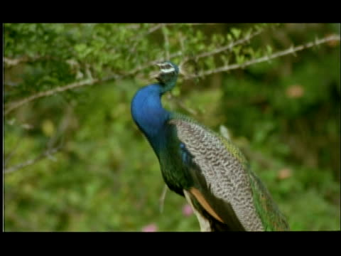 peacock (pavo cristatus) perching and calling, bandipur, nagarahole, india - crowing stock videos & royalty-free footage