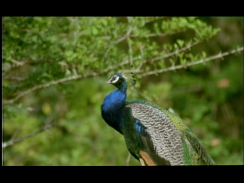 peacock (pavo cristatus) puffing up feathers, bandipur, nagarahole, india - iridescent stock videos & royalty-free footage