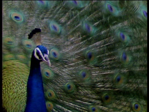 peacock rattles beautifully feathered fan in courtship display - peacock stock videos and b-roll footage