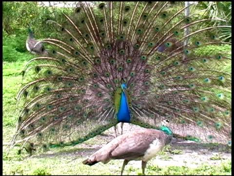 vídeos y material grabado en eventos de stock de peacock agitación su quills para impresionar a pava real - grupo pequeño de animales