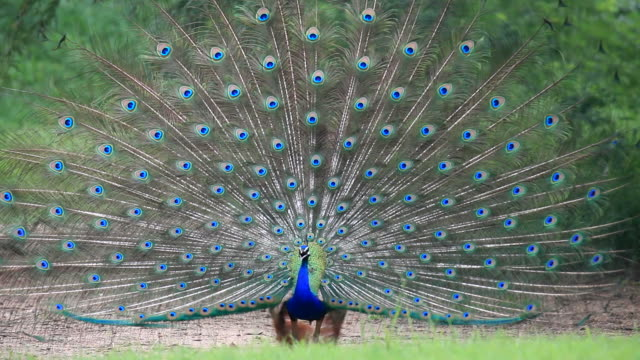 peacock singing - feather stock videos and b-roll footage