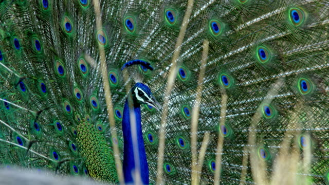 peacock - wildlife tracking tag stock videos and b-roll footage
