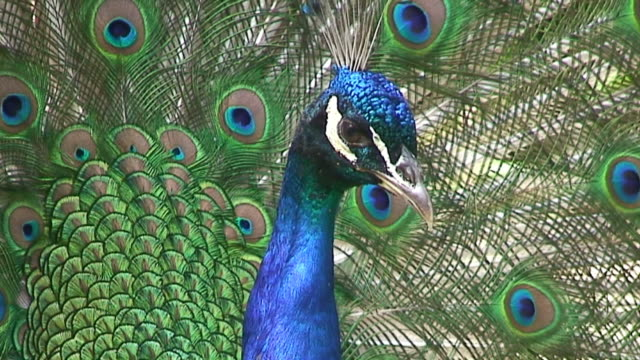 peacock - peacock stock videos and b-roll footage