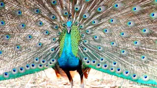peacock. - spread wings stock videos & royalty-free footage