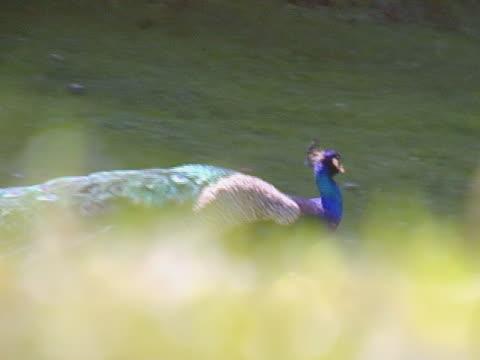 peacock  - 2008 stock-videos und b-roll-filmmaterial