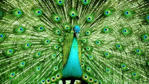 peacock - bird stock-videos und b-roll-filmmaterial